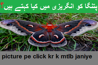 patanga پتنگا means in english moth means in urdu ~ Watch ...