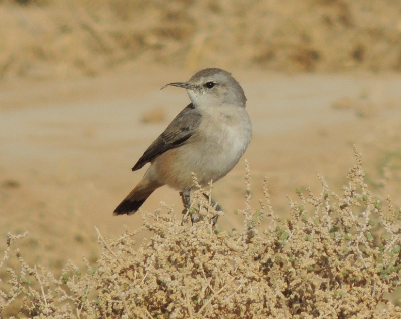 Five wheatears but not the right one