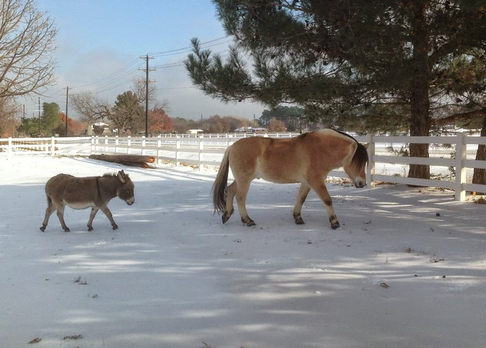 Miniature donkey and Fjord horse