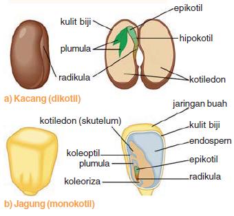Struktur Biji Tumbuhan