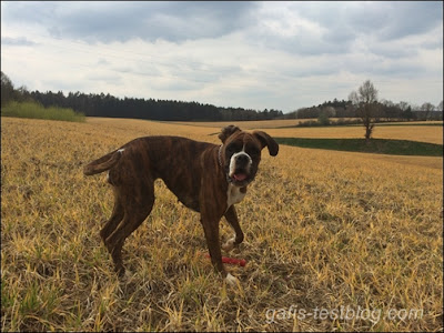 Boxer Amy beim Spaziergang