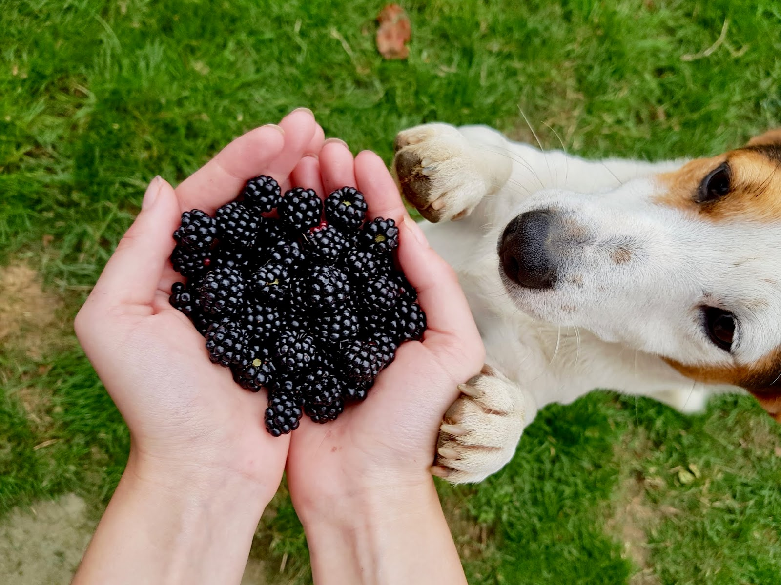 two hands cupping a portion of blackberries, a small dog jumping up to sniff at them