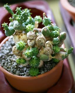 Euphorbia globosa - Dactylanthes globosa - Euphorbe succulente