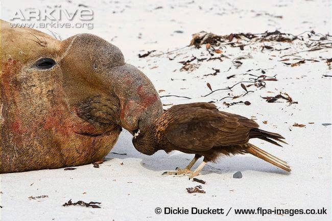 interactions between argentinan wildlife striated caracara