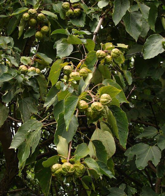 Quả Trẩu - Aleurites montana - Nguyên liệu làm thuốc Có Chất Độc
