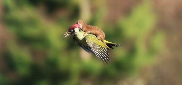 watch baby weasel have fun riding a woodpecker as the later struggles to save it's life via geniushowto.blogspot.com rare wildlife enccounter photos and videos