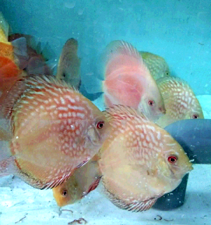 Gambar ikan discus, tips merawat tanpa heater