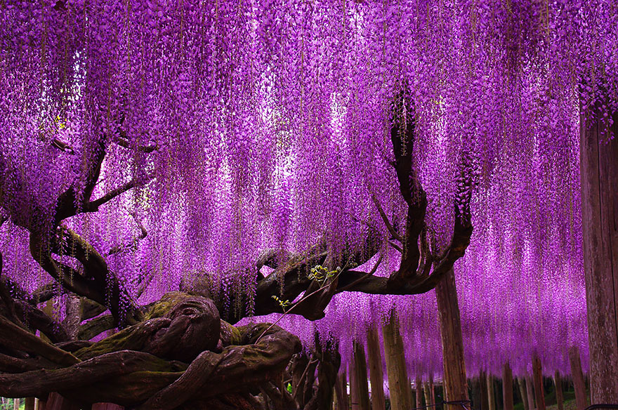 How To Grow Wisteria From Seed The Garden Of Eaden