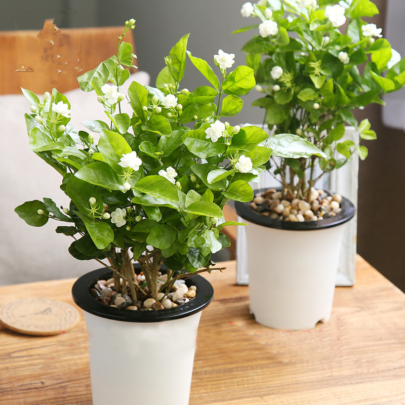 10pcs white jasmine seeds arabian jasmine aromatic plant good smell 4 cutting after flowering in order to make the basin can grow new branches and become much more beautyyou need to cutting it after the flowering mightylinksfo