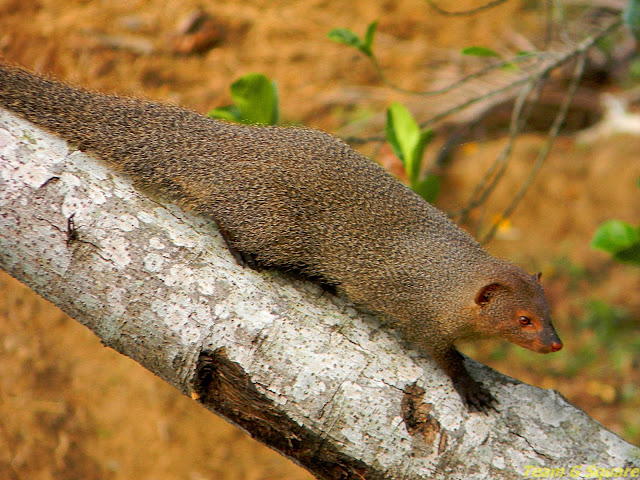 Female Indian Grey Mongoose