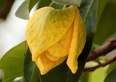 Fiore Annona muricata