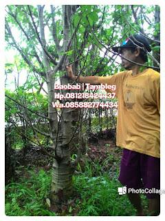 kaki gajah, adansonia dengan harga paling murah di Jakarta, kebayoran, kemang bangka, mampang, pasar minggu, Bogor, Depok, Kuningan ,Jakarta Selatan, Jakarta Utara, Jakarta Timur, Jakarta barat