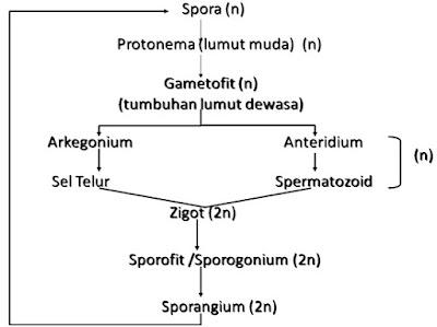 Metagenesis Tumbuhan Lumut Beserta Skema Metagenesis Lumut Metagenesis Tumbuhan Lumut Beserta Skema Metagenesis Lumut