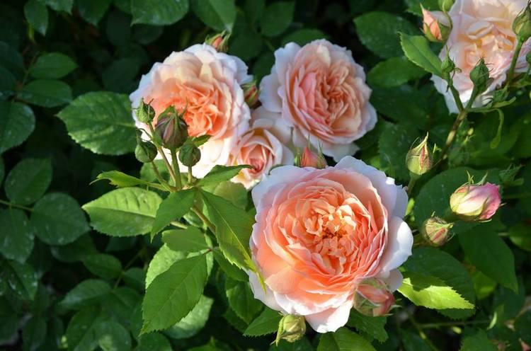 Rosa Port Sunlight. Rosas inglesas en una abadía francesa. Rosaleda David Austin en Abbaye de Morienval, Francia