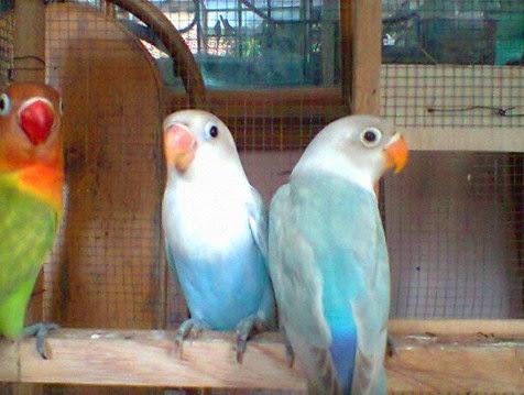 88+ Gambar Lovebird Bagus HD
