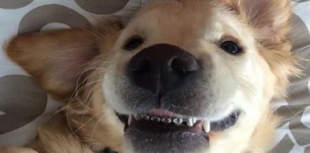 Anjing Berkawat Gigi