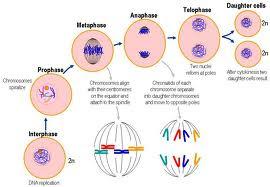 Hình ảnh quá trình nguyên phân