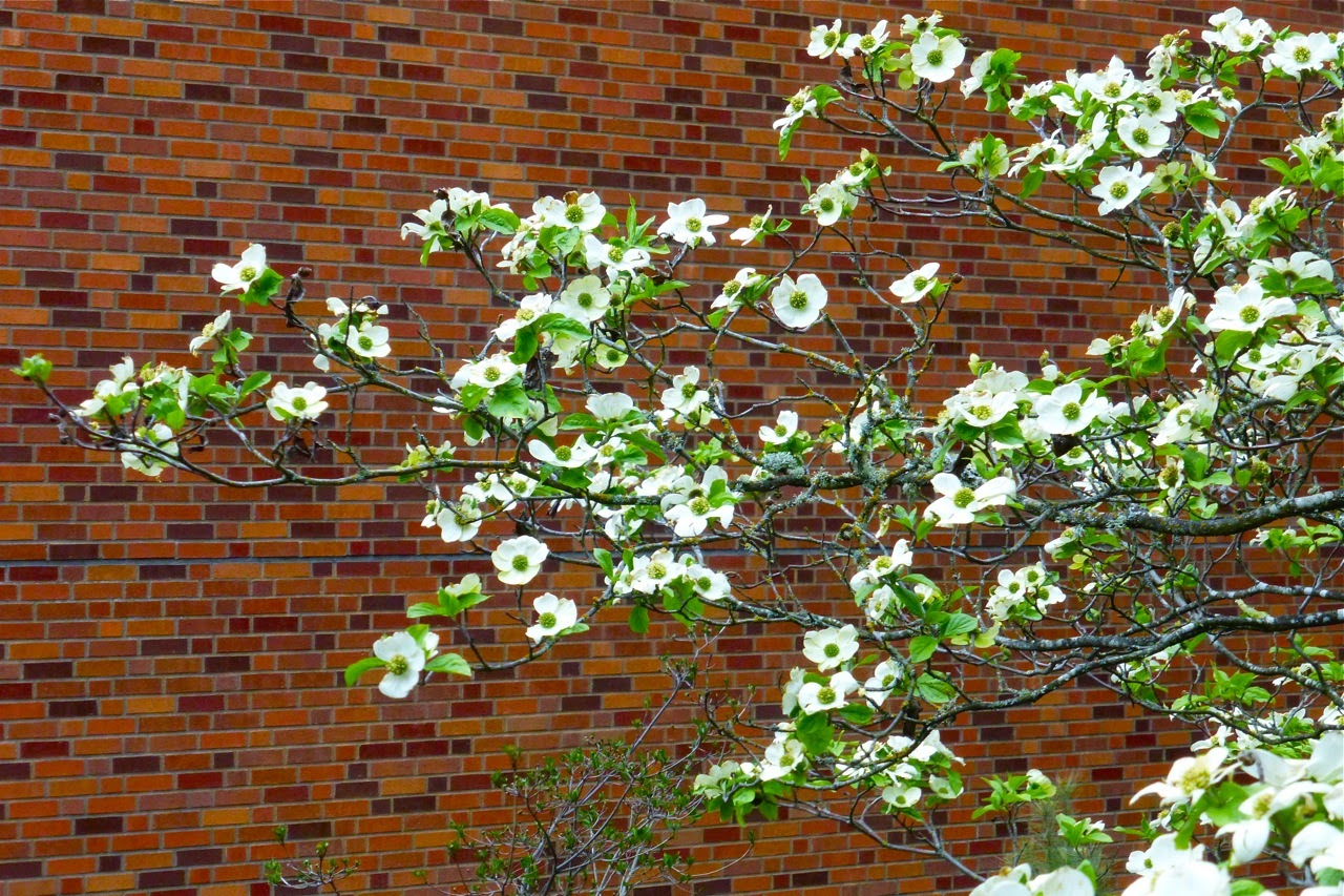 spring, spring 2015, magnolia, magnolia tree, magnolia blossoms, magnolia flowers, spring campus stroll, spring walk, spring flower viewing