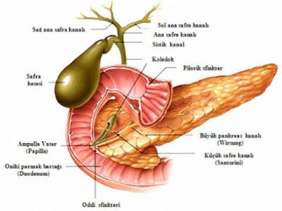 Sindirime Yardımcı Organlar Ve Bezler