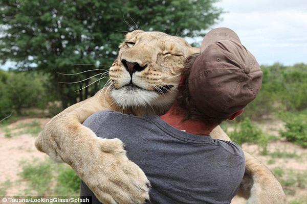 Sư tử thích ôm chầm lấy chủ nhân để làm nũng