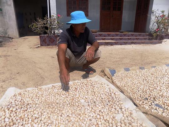 Lượng tỏi thu hoạch chỉ bằng 1/3 đến 1/2 so với các năm