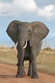 Klasifikasi Hewan Invertebrate Dan Vertebrata Gajah