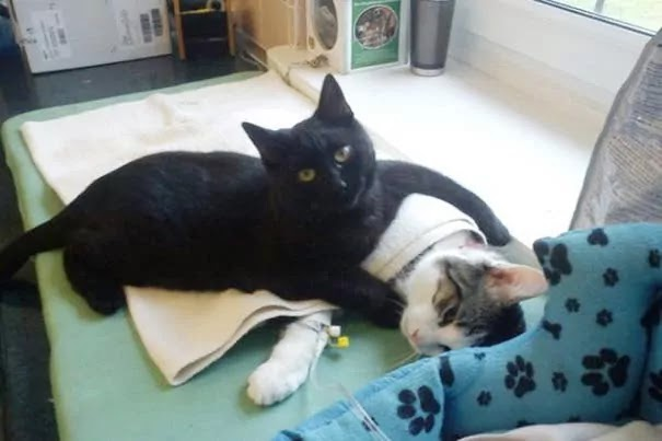 This Compassionate And Loving Black Cat Is Looking After The Patients At Animal Shelter In Poland