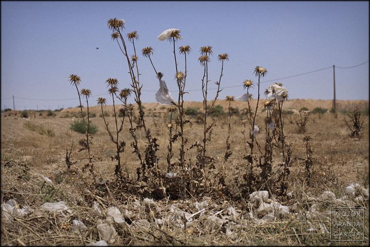 cardo,plastico,murcia,campo,agricultura,arriba_extraña,fuente_alamo,fotografia