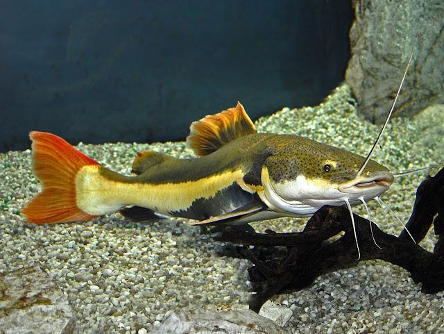 Dunia Ikan Hias -Red Tail Catfish