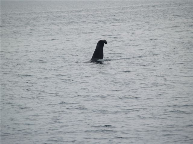 Five Star Whale Watching: Tranisent Orca