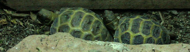 2 baby tortoises walking in a line, one after the other