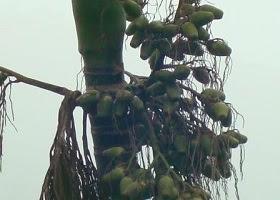 Betel nut tree.