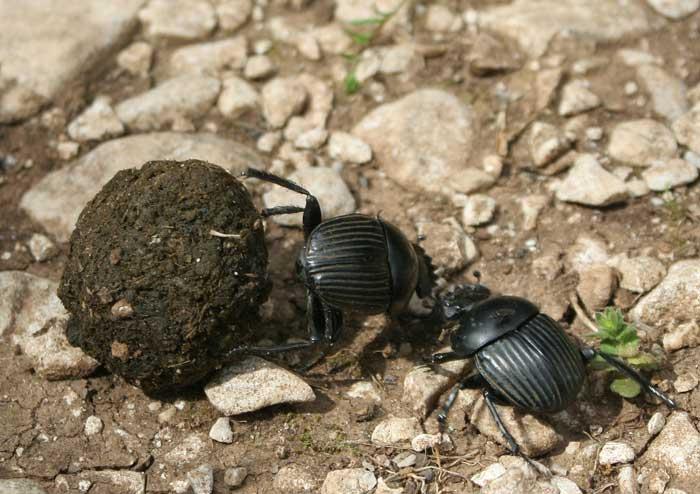 Dung beetles eat poop