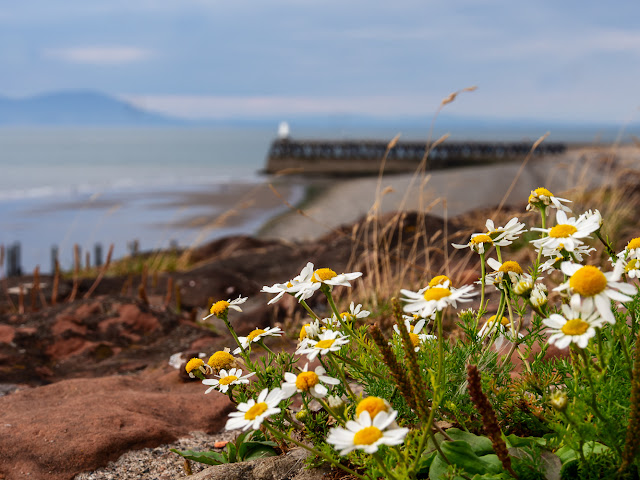 Photo of wildflowers on the coastal path at Maryport