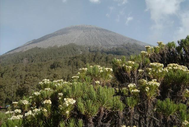 bunga edelweis di gunung semeru