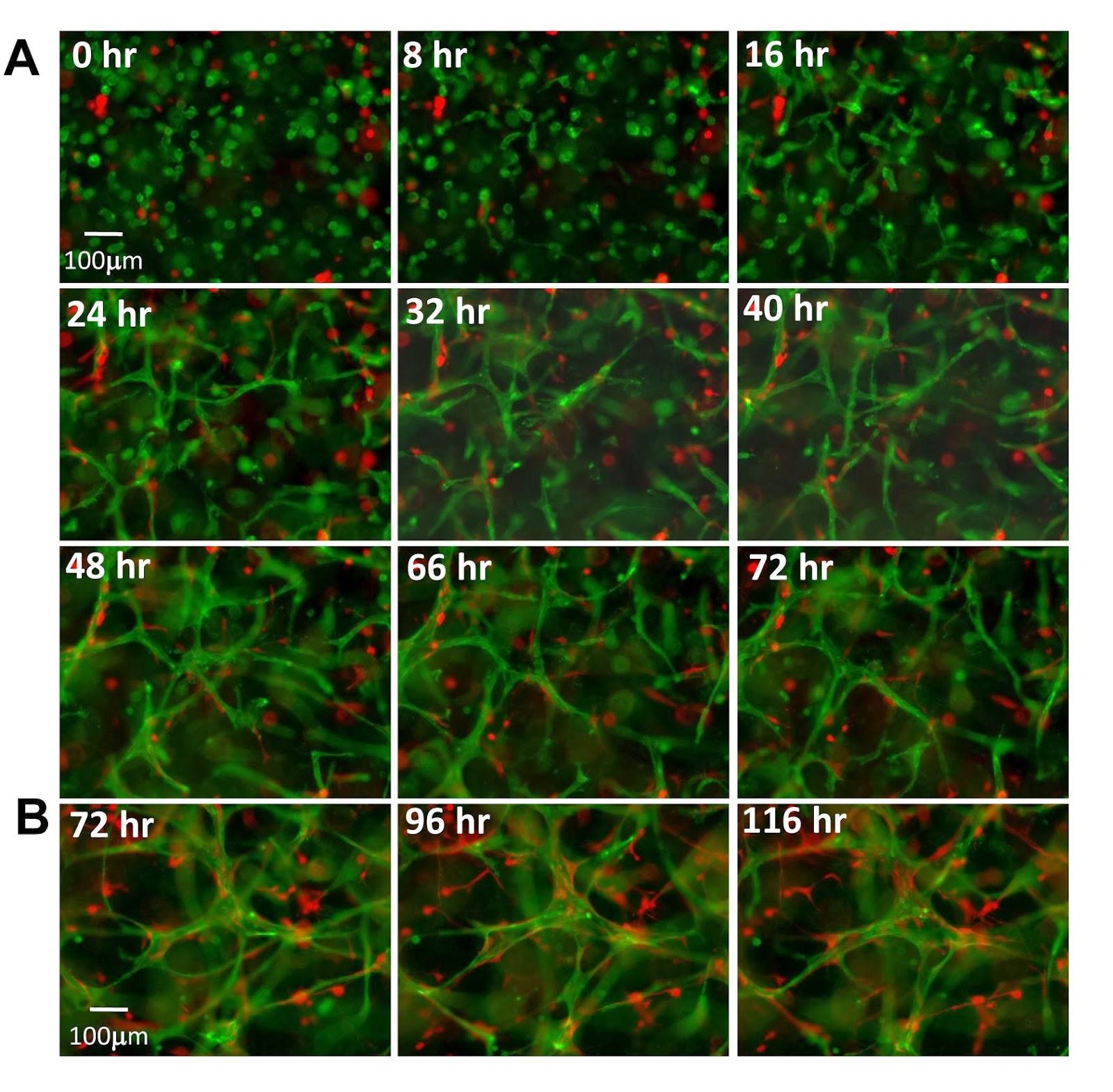 Тканевая инженерия васкулогенез in vitro