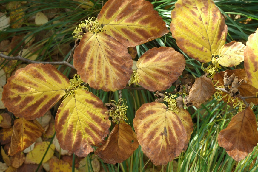 Common witchhazel (Hamamelis virginiana) fall foliage and blooms at Toronto Music Garden by garden muses-not another Toronto gardening blog