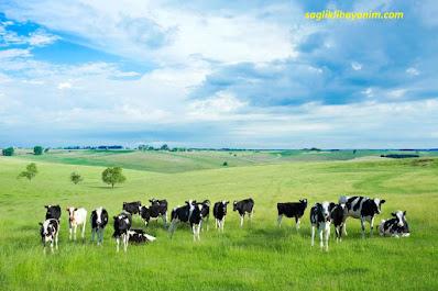 süt sığırcılığında sürü yönetimi nasıl olmalıdır