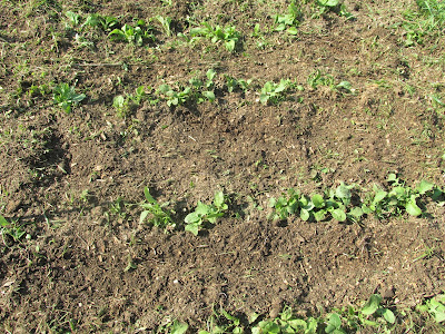 weeded radishes