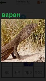 В степи на сухой земле стоит ящерица варан и высматривает добычу