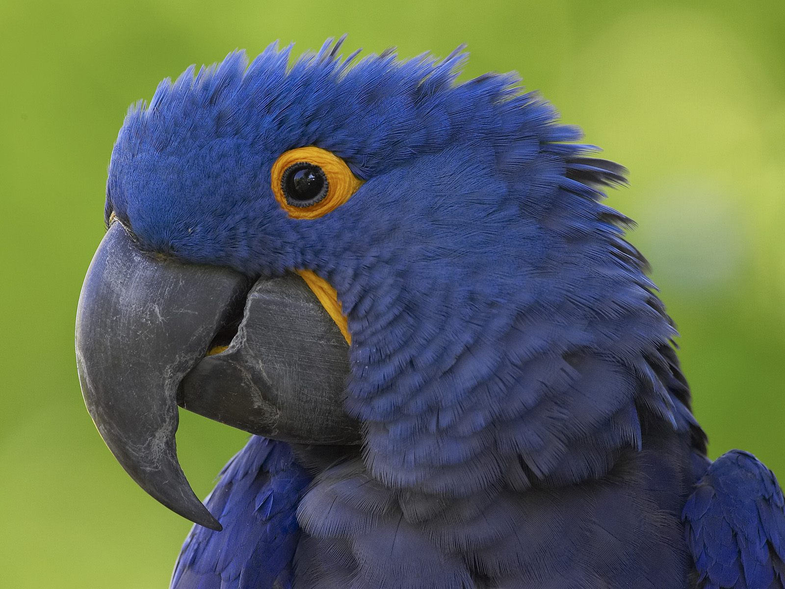Royalty-Free photo: Blue and yellow macaw bird flying ... |Blue Macaw Parrot Flying