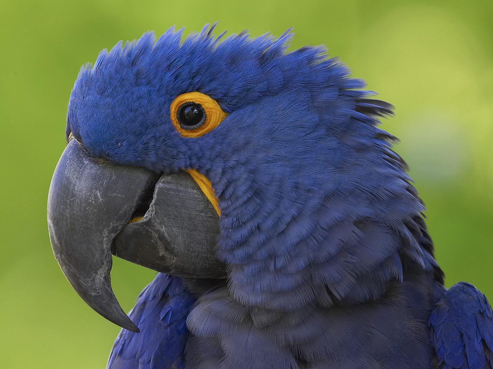 Flying Animal: Hyacinth Macaw