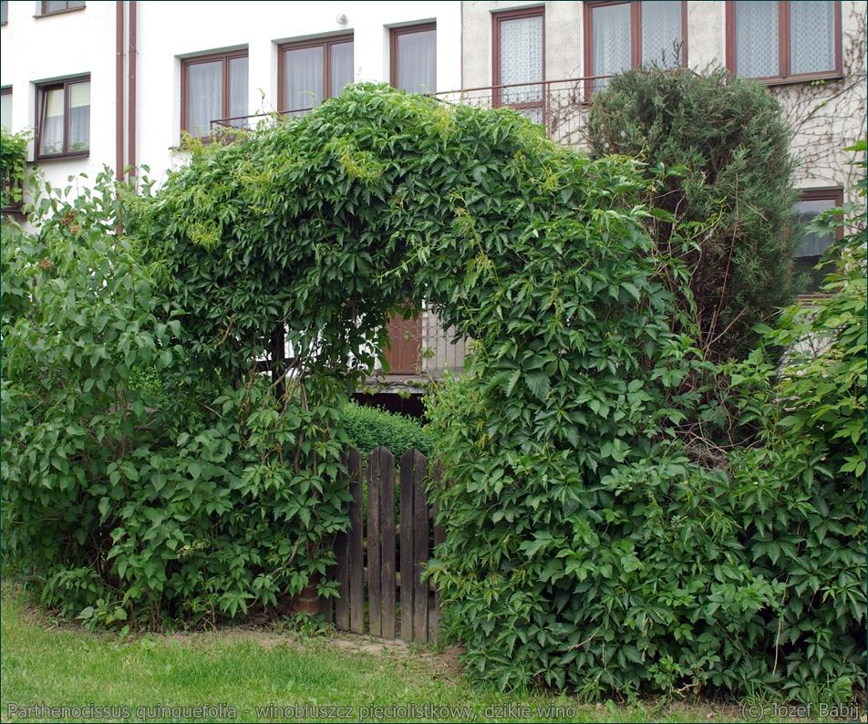 Parthenocissus quinquefolia - winobluszcz pięciolistkowy, dzikie wino