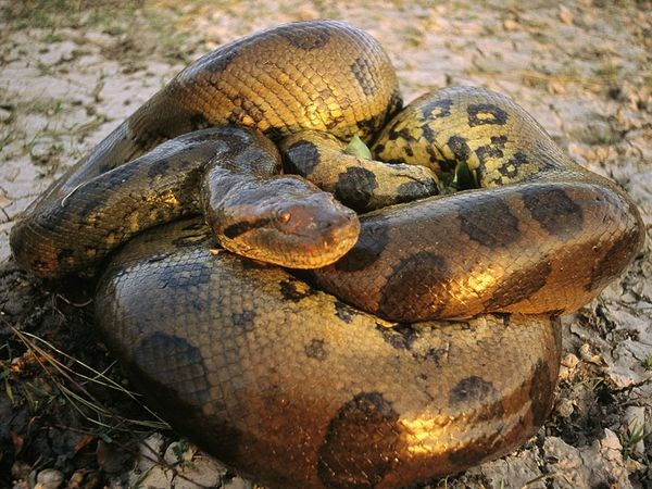 WHAT IS THE BIGGEST SNAKE IN THE WORLD?  The Garden of Eaden - photo#21