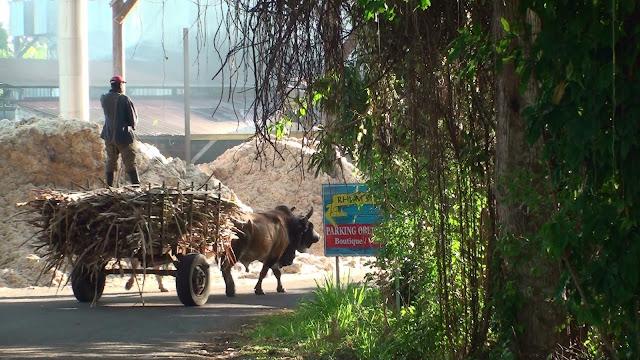 Charette à Boeuf transportant canne à sucre vers la Rhumerie