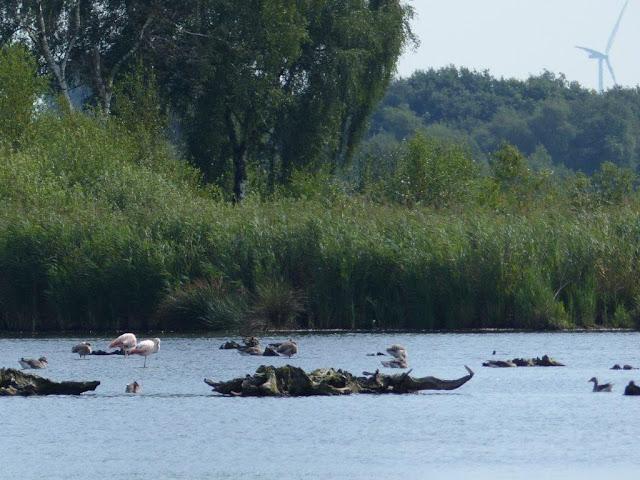 Zwillbrocker Venn Vreden Münsterland niederländische Grenze Flamingos freilebend nördlichste Kolonie Nordrhein-Westfalen  Sandboden Barfußrunde