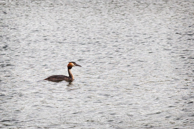 A swimming great crested grebe at the RSPB nature reserve at Ouse Fen