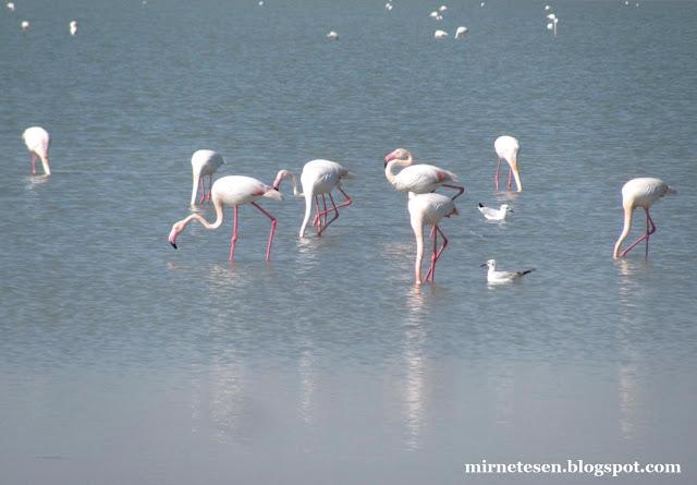 Солёное озеро в Ларнаке: фламинго