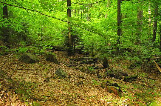 Obszar głazów, zacienionych roślinnością podszycia.