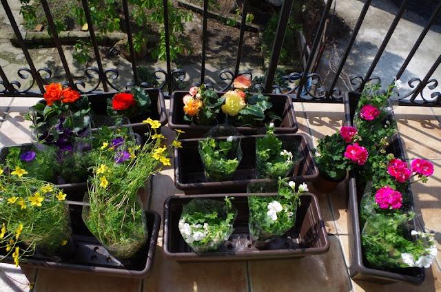 uczep rózgowaty, pelargonie, begonie, surfinie na balkonie w kamienicy